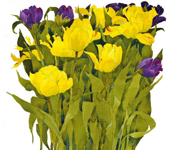 Tulips, yellow & purple image