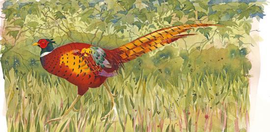 Pheasant II image