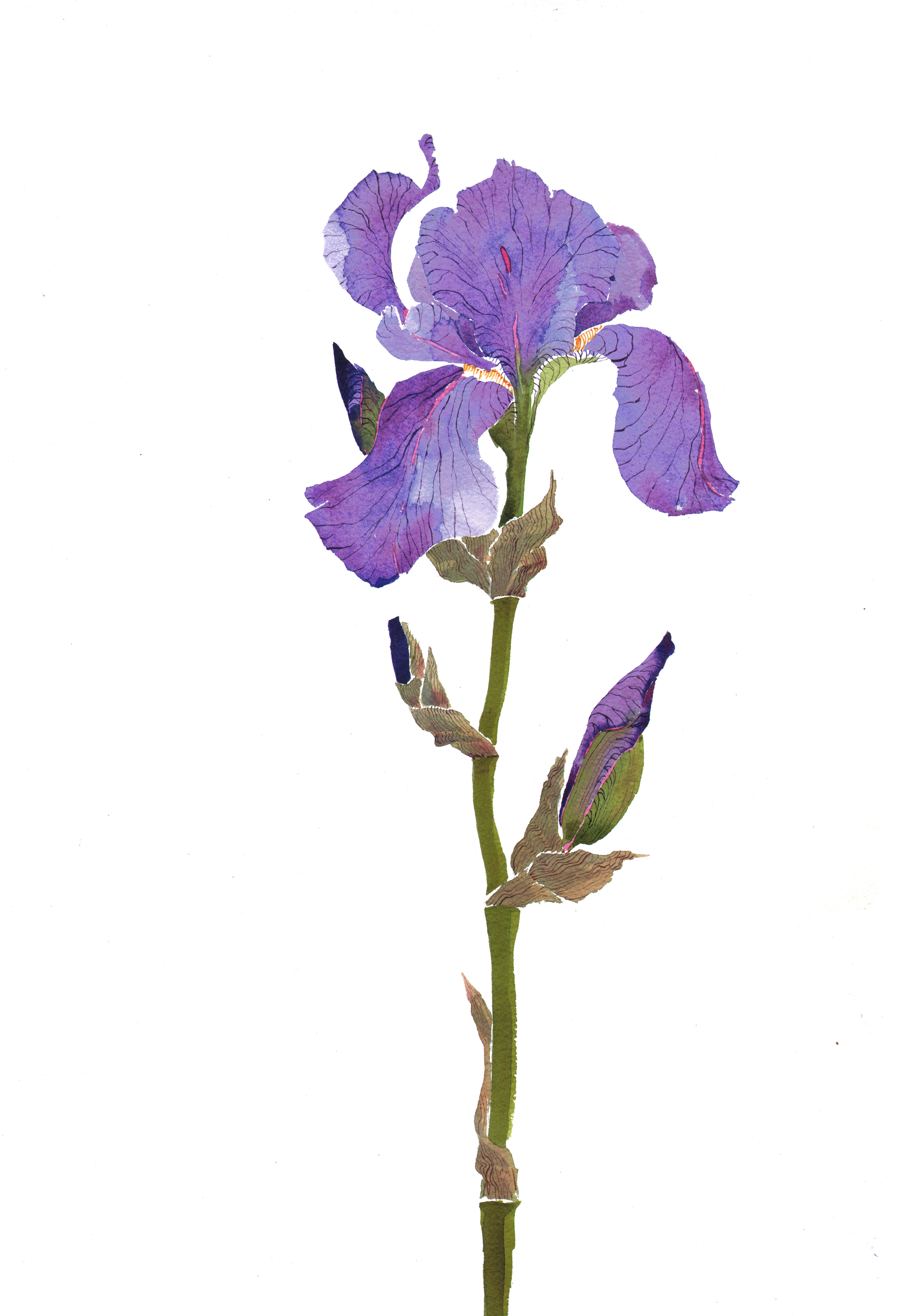 Single Bearded Iris, SOLD  image
