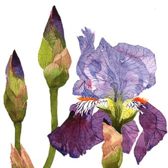 Bearded Iris Q11 image