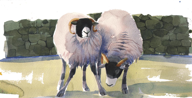 Swaledale Ewes New  image