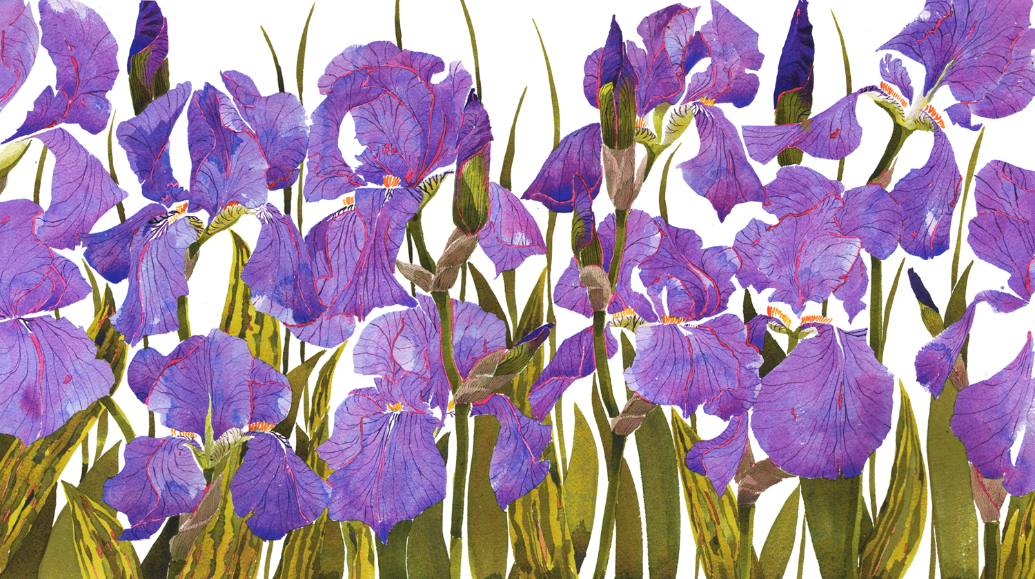 Bearded Irises,NEW image