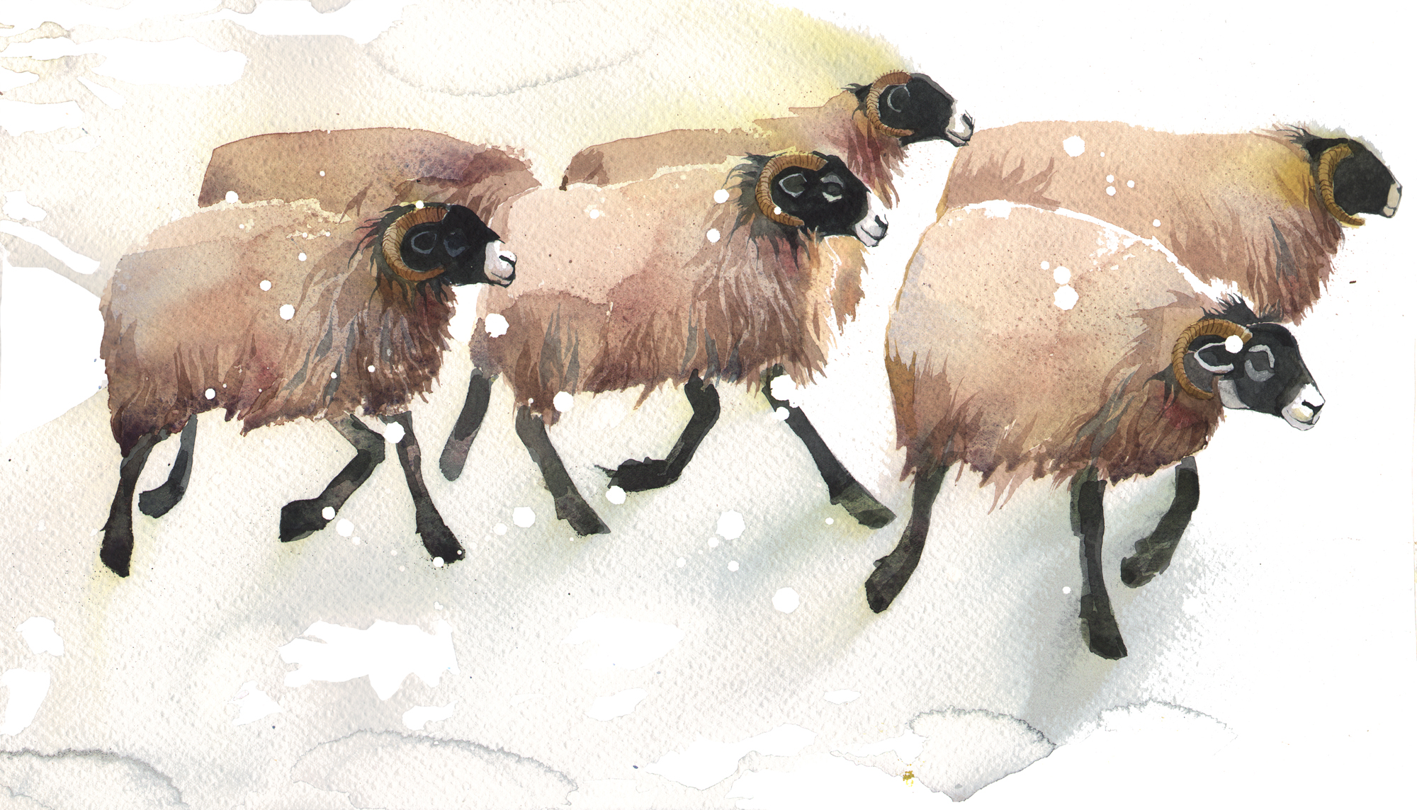 Six Swaledale Ewes New image